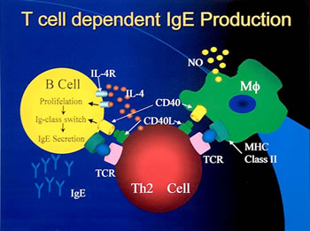 T cell dependent IgE Production